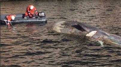 Operación de rescate para salvar 70 ballenas varadas en el sur de Australia