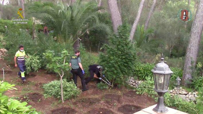 Sencelles: Seis detenidos y 724 plantas de marihuana de hasta 4 metros incautadas