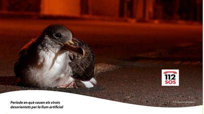 Medi Ambient pide colaboración ciudadana para recuperar polluelos de pardela cenicienta
