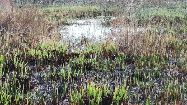 Satisfacción entre el movimiento ecologista por la rápida recuperación de s'Albufera