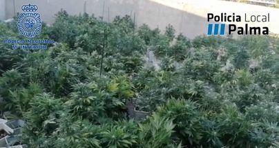 Incautadas 500 plantas de marihuana de unos 100 kilos de peso en la Soledat