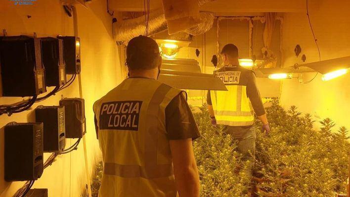 Incautadas en Palma 300 plantas de marihuana con un peso cercano a los 30 kilos