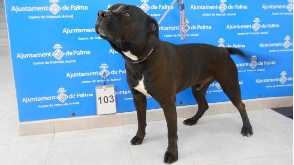 Bajan los abandonos y renuncias de perros en Palma, según Son Reus