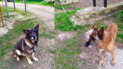 Piden a Cort que permita adoptar al perro policía jubilado Buddy tras la muerte de Max