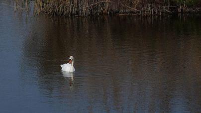 Más de 17.000 aves de 60 especies diferentes han pasado el invierno en espacios protegidos de Baleares