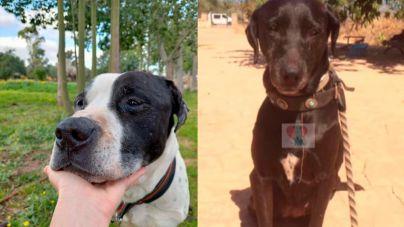 Piden ayuda para encontrar a la familia que adoptó a Piggy en Son Reus: