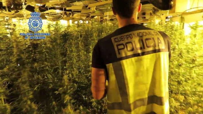 Desmantelada una red con 5.000 plantas de marihuana