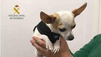 La Guardia Civil recupera en Palma un chihuahua robado en Barcelona