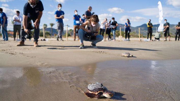 Dos tortugas hermanas nacidas en Ibiza se reencuentran en Valencia tras surcar el mar 7 meses