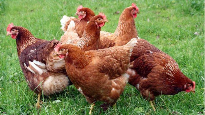 El Parlament insta a los comedores públicos a proveerse de huevos de gallinas no enjauladas