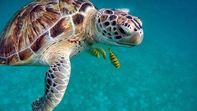 Medio Ambiente pide avisar al 112 si se encuentra un nido de tortuga marina