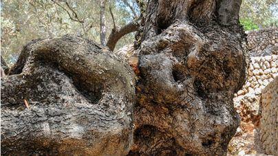 Oscar Pipkin expone este viernes en Selva una colección de 36 fotografías de olivos de la Serra