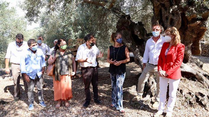 Un ejemplar milenario de Fornalutx recibe el premio al Mejor Olivo Monumental de España