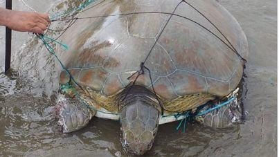 Desenmallar y soltar a una tortuga sin asesoramiento profesional pone en riesgo su vida