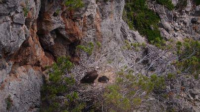 Las poblaciones de buitre negro y leonado siguen una tendencia positiva en Baleares
