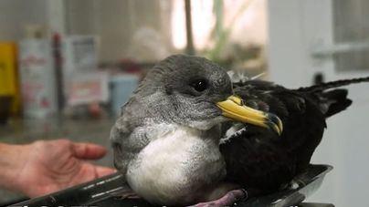 Piden colaboración para rescatar aves marinas que pueden caer en zonas urbanas