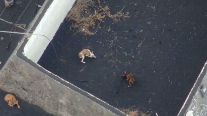 EN DIRECTO | Desaparecen los perros de La Palma que iban a ser rescatados de la lava