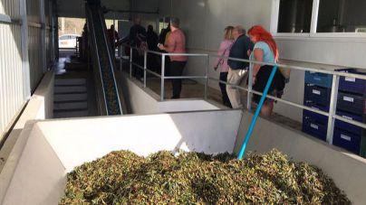 Producción histórica de aceite de oliva virgen extra en Eivissa