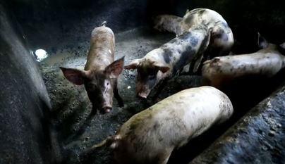 Sacrifican 3.000 cerdos en Filipinas para contener el brote de peste porcina africana