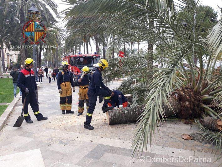 Los Bomberos de Palma intervienen en el Passeig Sagrera para trocear una palmera caída