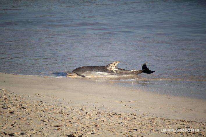 Un delfín fallece en la playa del puerto de la Colònia de Sant Jordi