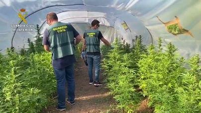 Detenidos tras encontrar casi 300 plantas de marihuana en una finca de Manacor
