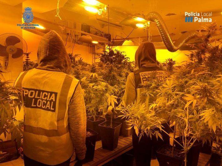 Dos detenidos por cultivar marihuana en la trastienda de un supermercado de Palma