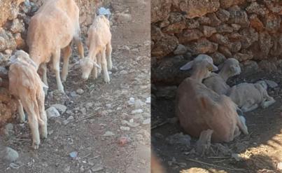 El rebaño de ovejas más protestón del mundo