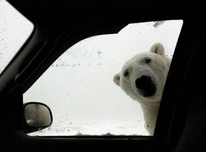 Otro día de frío siberiano y los osos polares camparán por Mallorca