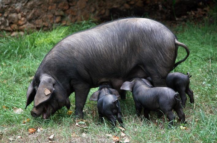 La carne y grasa del 'porc negre' son más saludables que la del cerdo industrial