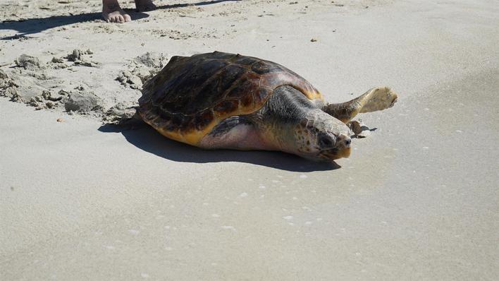 Liberadas tres tortugas marinas en es Trenc
