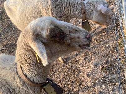 La vida sigue igual (de mal) para las ovejas del Port d'Andratx