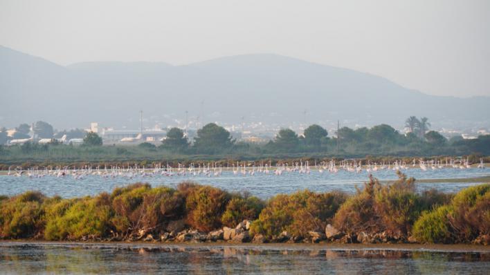 El Parc Natural de ses Salines de Eivissa y Formentera contabiliza el mayor número de flamencos de su historia