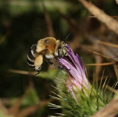 Las abejas sufrieron una extinción masiva con los dinosaurios