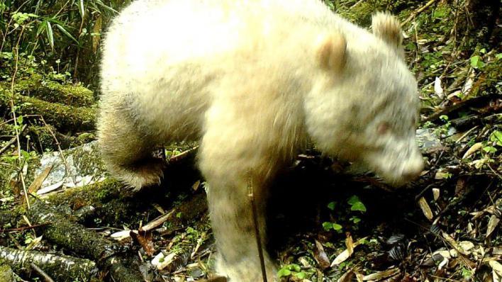 Fotografían al primer oso panda albino de la historia