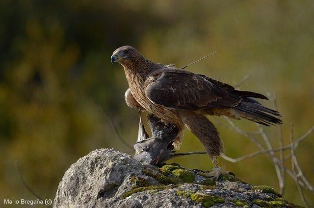 Medio Ambiente ha tratado a 180 aves electrocutadas en Mallorca y Menorca