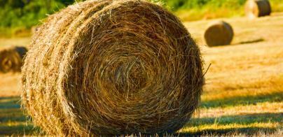 El Govern regulará la producción de trigo, triticale y avena para pedir ayudas