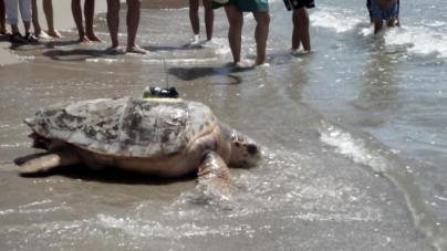 La tortuga Colomera llega a Mallorca
