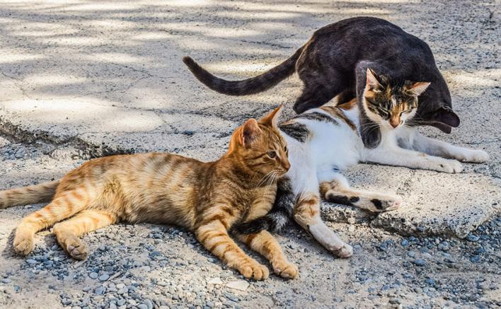 Colonias felinas: el Consell de Mallorca propone a los ayuntamientos ordenanzas con hasta 10 gatos