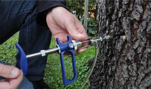 Los pinos de Marratxí recibirán un tratamiento de endoterapia