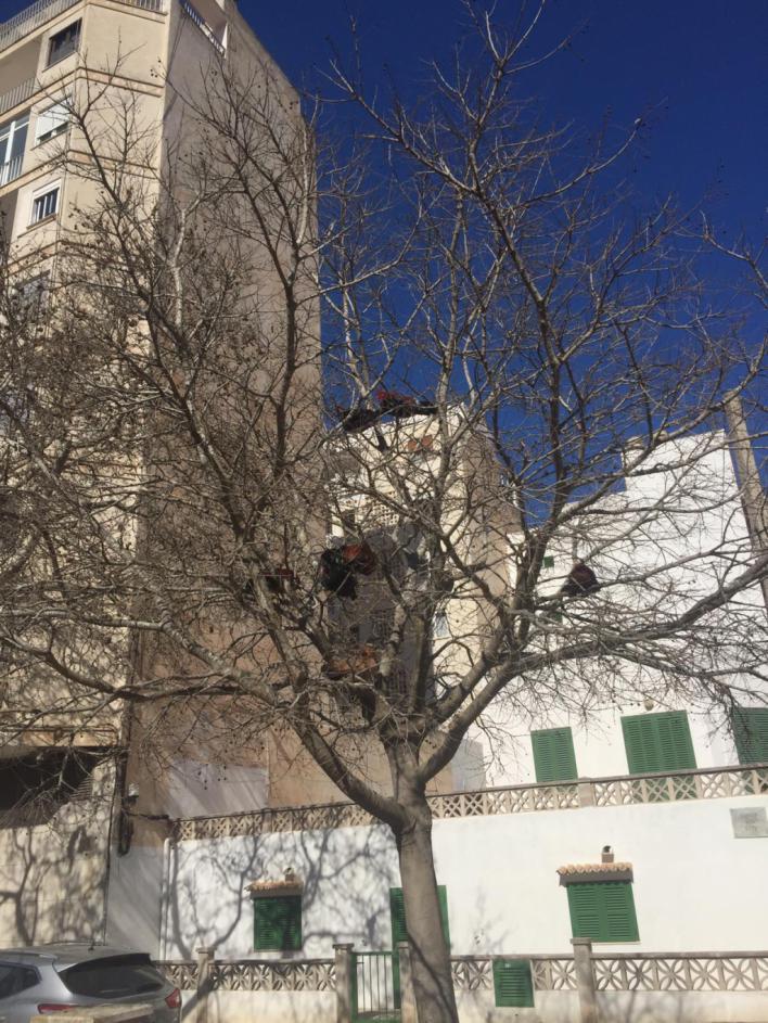Humor en la Red: Los gallos y gallinas okupan los árboles de s'Arenal