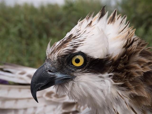 Polluelos de águila pescadora de Baleares para reintroducir la especie en Valencia