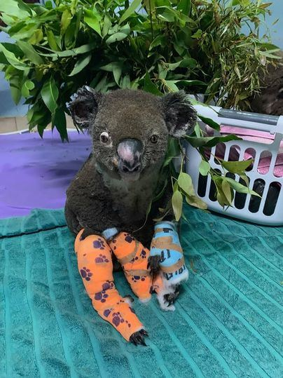 Sacrifican a Lewis, el koala rescatado por una mujer de un incendio en Australia
