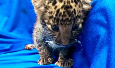 Volaba con una cría de leopardo en su maleta de mano