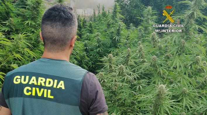 Desarticuladas dos plantaciones de marihuana en Consell y Sineu
