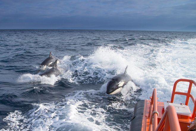 Una familia de orcas acompaña a un barco de Salvamento Marítimo