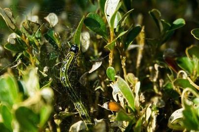 Se detecta por primera vez en Palma la presencia de una oruga asiática invasora
