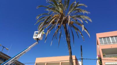 Talan cuatro palmeras enfermas en s'Arenal