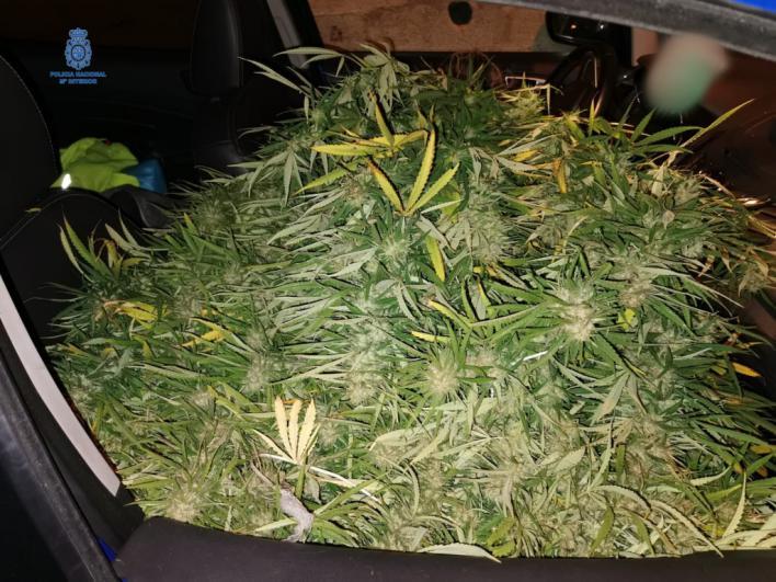 Hallan plantas de marihuana en un coche tras una huida de la Policía y un accidente