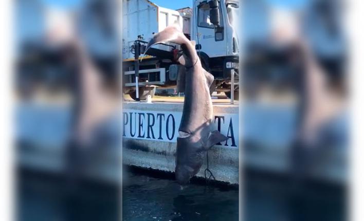Hallado un tiburón muerto en Puerto Portals